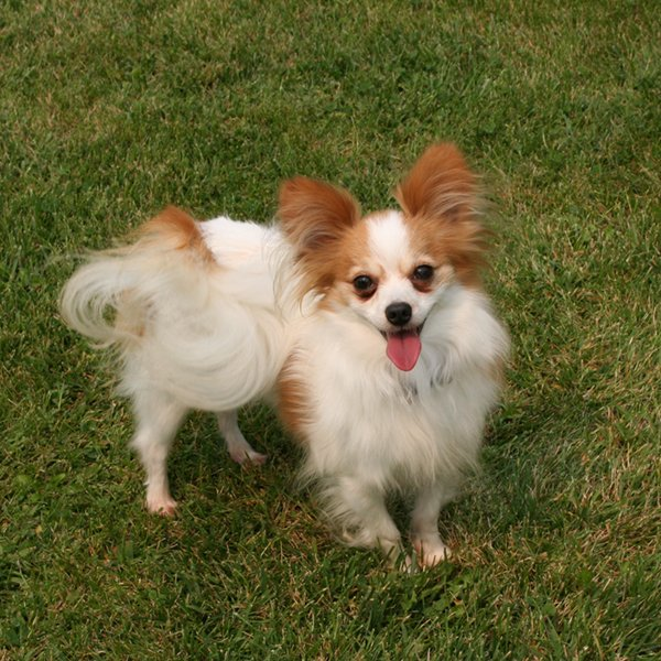 Papillon Puppies For Sale Nebraska Papillion Breeder Sandhills