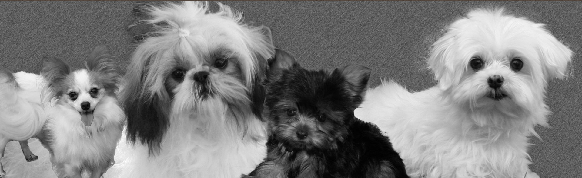 Maltese, Shih Tzu, Papillion & Yorkshire Terrier Puppies