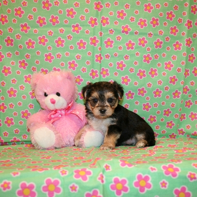 Maltese, Shih Tzu, Papillion & Yorkshire Terrier Puppies For