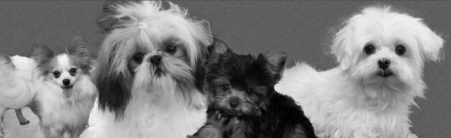 Maltese, Shih Tzu, Papillion & Yorkshire Terrier Puppies